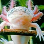Avatar for Axolotl